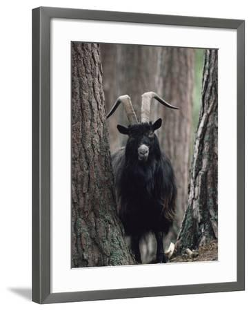Feral Goat Male in Pinewood (Capra Hircus), Scotland-Niall Benvie-Framed Photographic Print