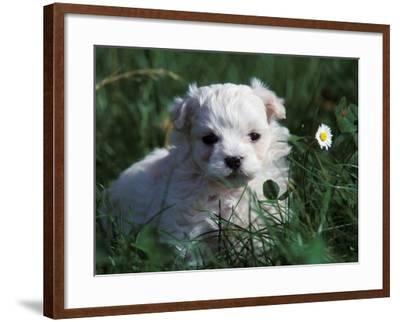 Maltese Puppy Sitting in Grass Near a Daisy-Adriano Bacchella-Framed Photographic Print