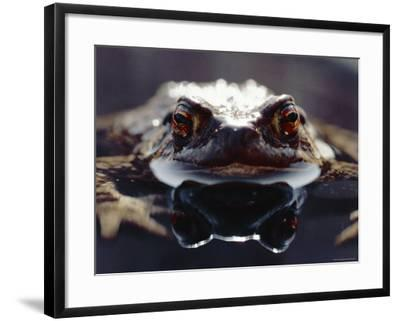 Common European Toad Female Portrait (Bufo Bufo) in Water, England-Chris Packham-Framed Photographic Print