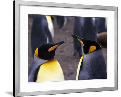 Two King Penguins Face to Face, (Aptenodytes Patagoni) South Georgia-Lynn M^ Stone-Framed Photographic Print