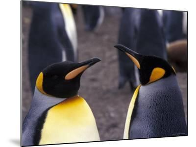 Two King Penguins Face to Face, (Aptenodytes Patagoni) South Georgia-Lynn M^ Stone-Mounted Photographic Print