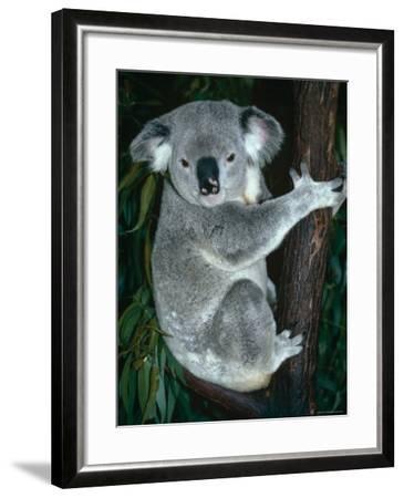 Koala, in Tree, Queensland, Australia-Lynn M^ Stone-Framed Photographic Print