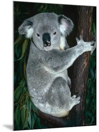 Koala, in Tree, Queensland, Australia-Lynn M^ Stone-Mounted Photographic Print