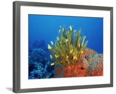 Yellow Featherstars on Sponge, Indo-Pacific-Jurgen Freund-Framed Photographic Print