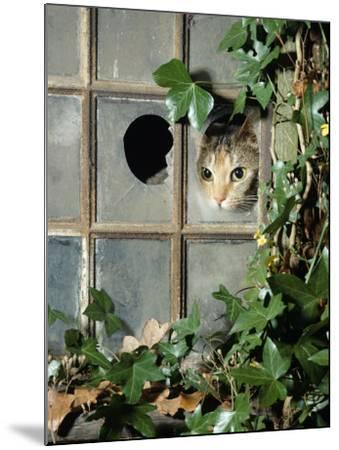 Tabby Tortoiseshell in an Ivy-Grown Window of a Deserted Victorian House-Jane Burton-Mounted Photographic Print
