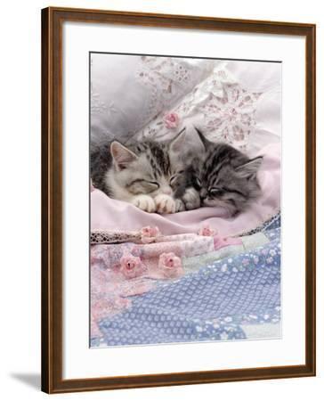 Domestic Cat, Two Chinchilla-Cross Kittens Sleeping in Bed-Jane Burton-Framed Photographic Print