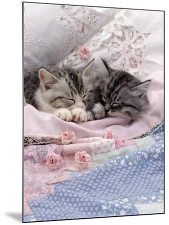 Domestic Cat, Two Chinchilla-Cross Kittens Sleeping in Bed-Jane Burton-Mounted Photographic Print