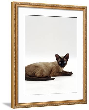 Domestic Cat, Seal-Point Devon Si-Rex-Jane Burton-Framed Photographic Print