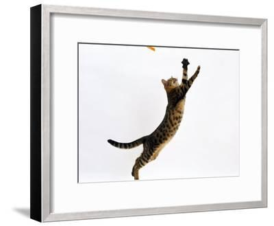 Domestic Cat, Brown Spotted Bengal Female Leaping for Toy-Jane Burton-Framed Photographic Print
