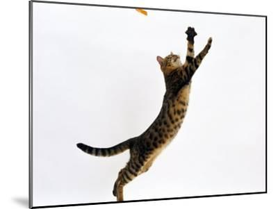Domestic Cat, Brown Spotted Bengal Female Leaping for Toy-Jane Burton-Mounted Photographic Print