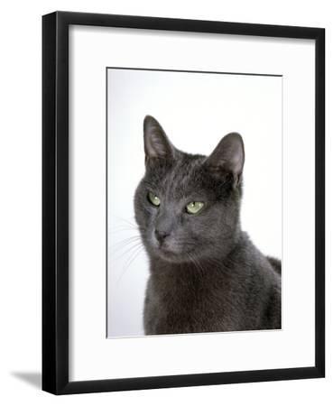 Domestic Cat, Russian Blue Female-Jane Burton-Framed Photographic Print