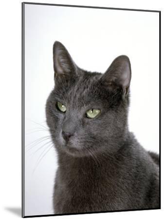 Domestic Cat, Russian Blue Female-Jane Burton-Mounted Photographic Print