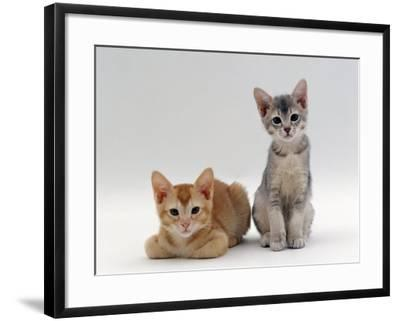 Domestic Cat, 9-Weeks Red and Blue-Cream Kittens, Lying and Sitting-Jane Burton-Framed Photographic Print
