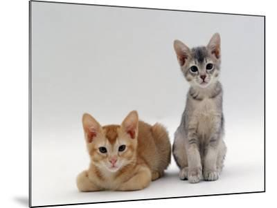 Domestic Cat, 9-Weeks Red and Blue-Cream Kittens, Lying and Sitting-Jane Burton-Mounted Photographic Print