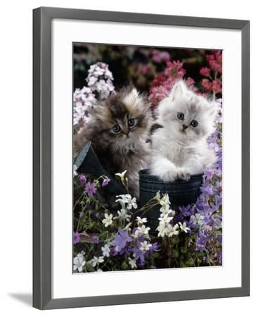 7-Weeks, Gold-Shaded and Silver-Shaded Persian Kittens in Watering Can Surrounded by Flowers-Jane Burton-Framed Photographic Print