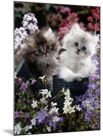 7-Weeks, Gold-Shaded and Silver-Shaded Persian Kittens in Watering Can Surrounded by Flowers-Jane Burton-Mounted Photographic Print