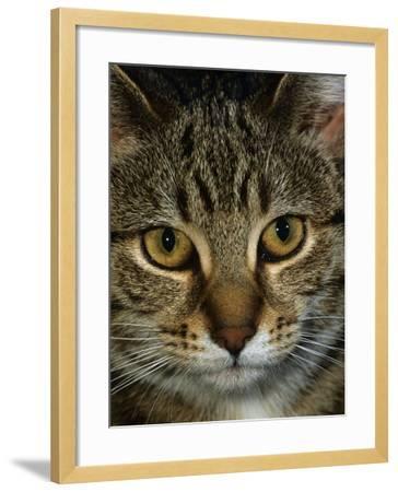 Domestic Cat, Head Portrait of Tabby-Jane Burton-Framed Photographic Print