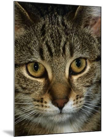 Domestic Cat, Head Portrait of Tabby-Jane Burton-Mounted Photographic Print