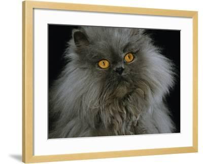 Domestic Cat, Blue Persian Longhair-Jane Burton-Framed Photographic Print