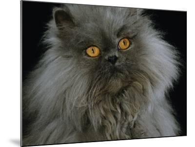 Domestic Cat, Blue Persian Longhair-Jane Burton-Mounted Photographic Print