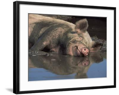 Domestic Pig Wallowing in Mud, USA-Lynn M^ Stone-Framed Photographic Print