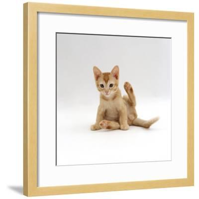 Domestic Cat, 9-Week Kitten Looking up from Grooming-Jane Burton-Framed Photographic Print