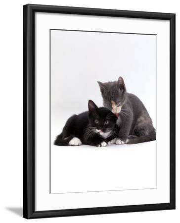 Domestic Cat, Blue Cream Kitten Washing Her Brother's Ear-Jane Burton-Framed Photographic Print
