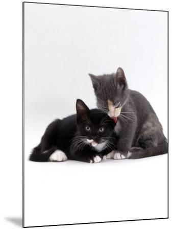 Domestic Cat, Blue Cream Kitten Washing Her Brother's Ear-Jane Burton-Mounted Photographic Print