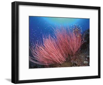 Featherstar, on Fan Coral, Sulu-Sulawesi Seas, Indo Pacific-Jurgen Freund-Framed Photographic Print