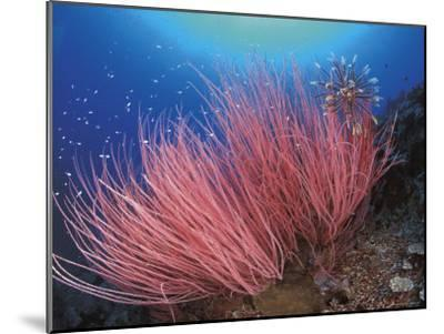 Featherstar, on Fan Coral, Sulu-Sulawesi Seas, Indo Pacific-Jurgen Freund-Mounted Photographic Print