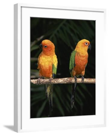 Sun Conures-Lynn M^ Stone-Framed Photographic Print