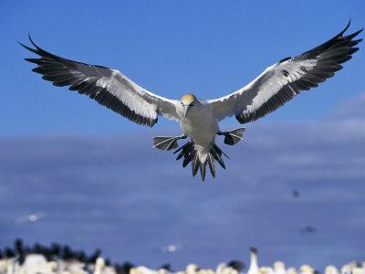 Cape Gannet Landing, Lamberts Bay, South Africa-Tony Heald-Framed Photographic Print