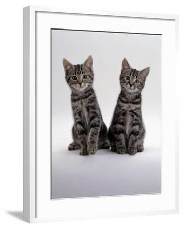 Domestic Cat, Two 8-Week Tabby Kittens, Male and Female-Jane Burton-Framed Photographic Print