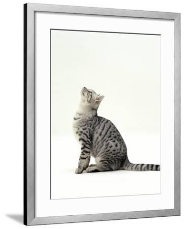 Domestic Cat, 5-Month Silver Spotted Shorthair Male, Sitting Looking Up, Back Hunched-Jane Burton-Framed Photographic Print
