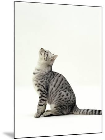 Domestic Cat, 5-Month Silver Spotted Shorthair Male, Sitting Looking Up, Back Hunched-Jane Burton-Mounted Photographic Print