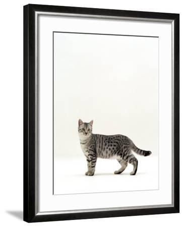 Domestic Cat, 5-Month Silver Spotted Shorthair Male, Standing with Tail Relaxed-Jane Burton-Framed Photographic Print