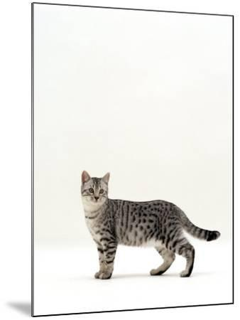Domestic Cat, 5-Month Silver Spotted Shorthair Male, Standing with Tail Relaxed-Jane Burton-Mounted Photographic Print
