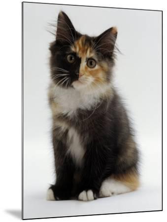 Domestic Cat, 9-Week Non-Pedigree Longhair Tortoiseshell-And-White Kitten-Jane Burton-Mounted Photographic Print