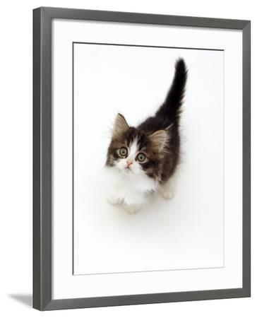 Looking Down on Domestic Cat, 7-Week Tabby and White Persian-Cross Kitten Looking Up-Jane Burton-Framed Photographic Print