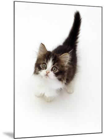 Looking Down on Domestic Cat, 7-Week Tabby and White Persian-Cross Kitten Looking Up-Jane Burton-Mounted Photographic Print