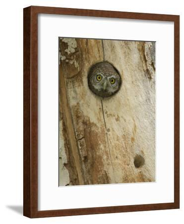 Northern Pygmy Owl, Adult Looking out of Nest Hole in Sycamore Tree, Arizona, USA-Rolf Nussbaumer-Framed Photographic Print