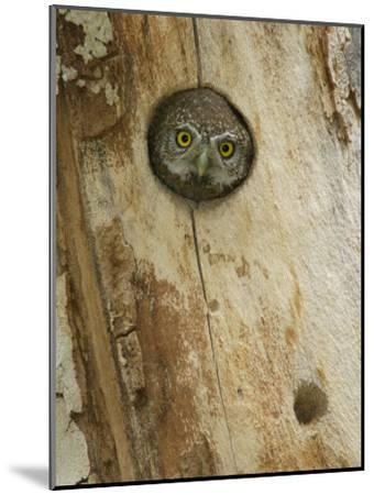 Northern Pygmy Owl, Adult Looking out of Nest Hole in Sycamore Tree, Arizona, USA-Rolf Nussbaumer-Mounted Photographic Print
