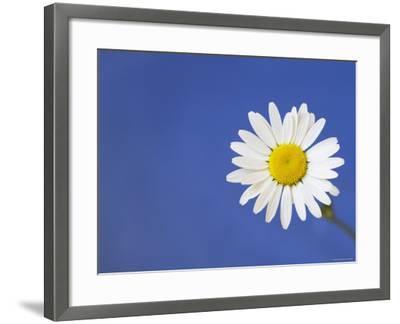 Marguerite / Ox Eye Daisy (Leucanthemum Vulgare) UK-Pete Cairns-Framed Photographic Print