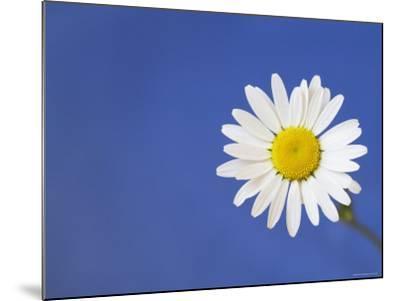 Marguerite / Ox Eye Daisy (Leucanthemum Vulgare) UK-Pete Cairns-Mounted Photographic Print