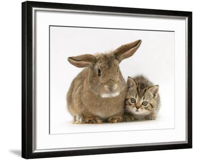 British Shorthair Brown Tabby Female Kitten with Young Agouti Rabbit-Jane Burton-Framed Photographic Print