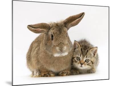 British Shorthair Brown Tabby Female Kitten with Young Agouti Rabbit-Jane Burton-Mounted Photographic Print