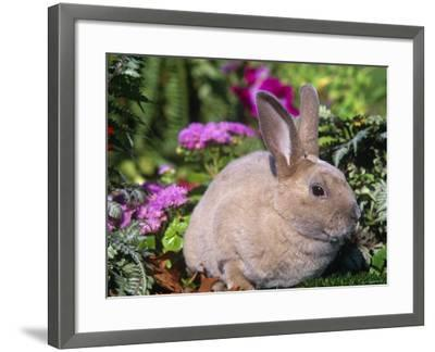 Mini Rex Rabbit, USA-Lynn M^ Stone-Framed Photographic Print