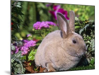 Mini Rex Rabbit, USA-Lynn M^ Stone-Mounted Photographic Print