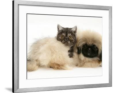 Smoke Exotic Kitten with Pekingese Puppy-Jane Burton-Framed Photographic Print