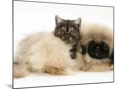 Smoke Exotic Kitten with Pekingese Puppy-Jane Burton-Mounted Photographic Print